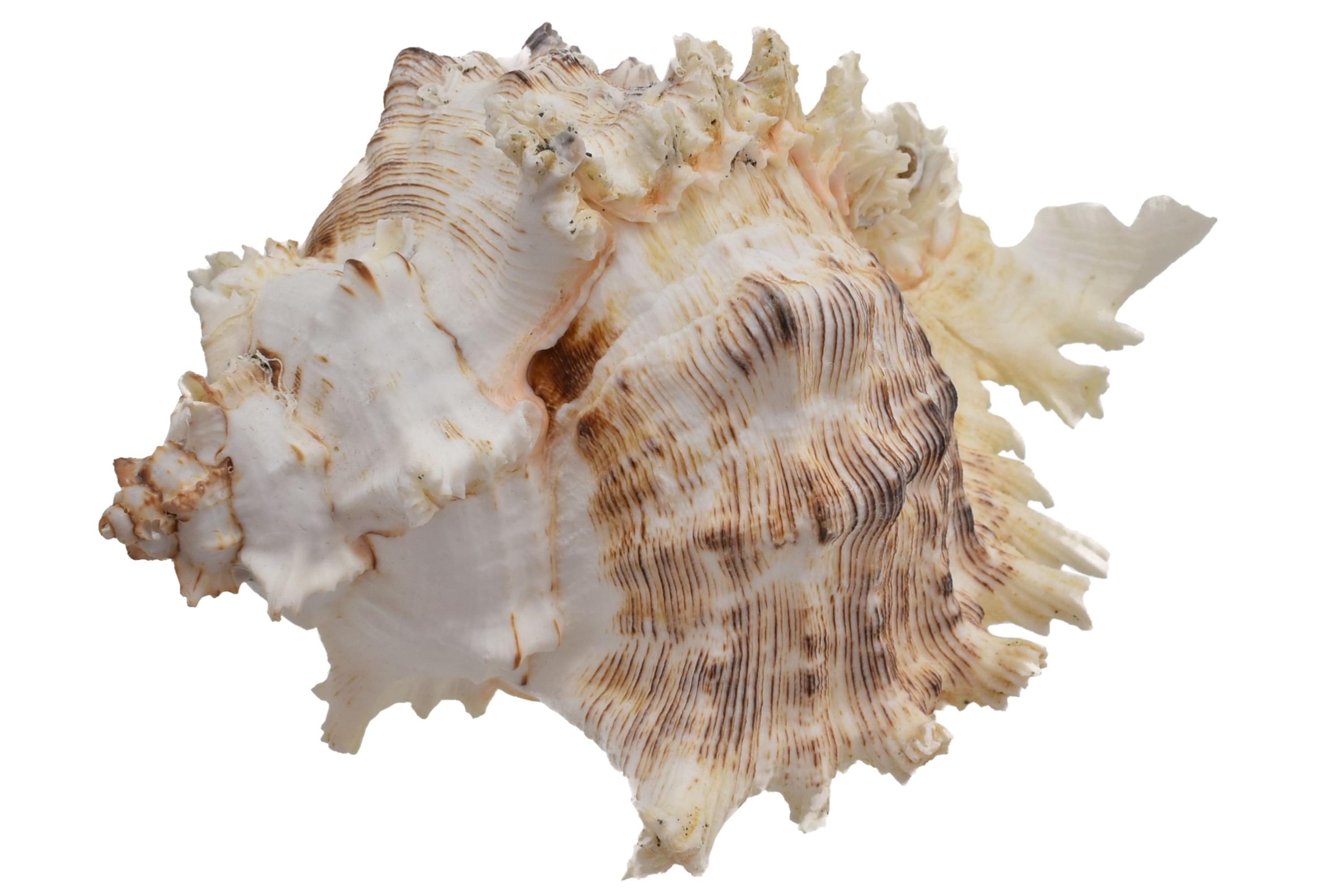 "Large Murex Ramosus Shell 5"""