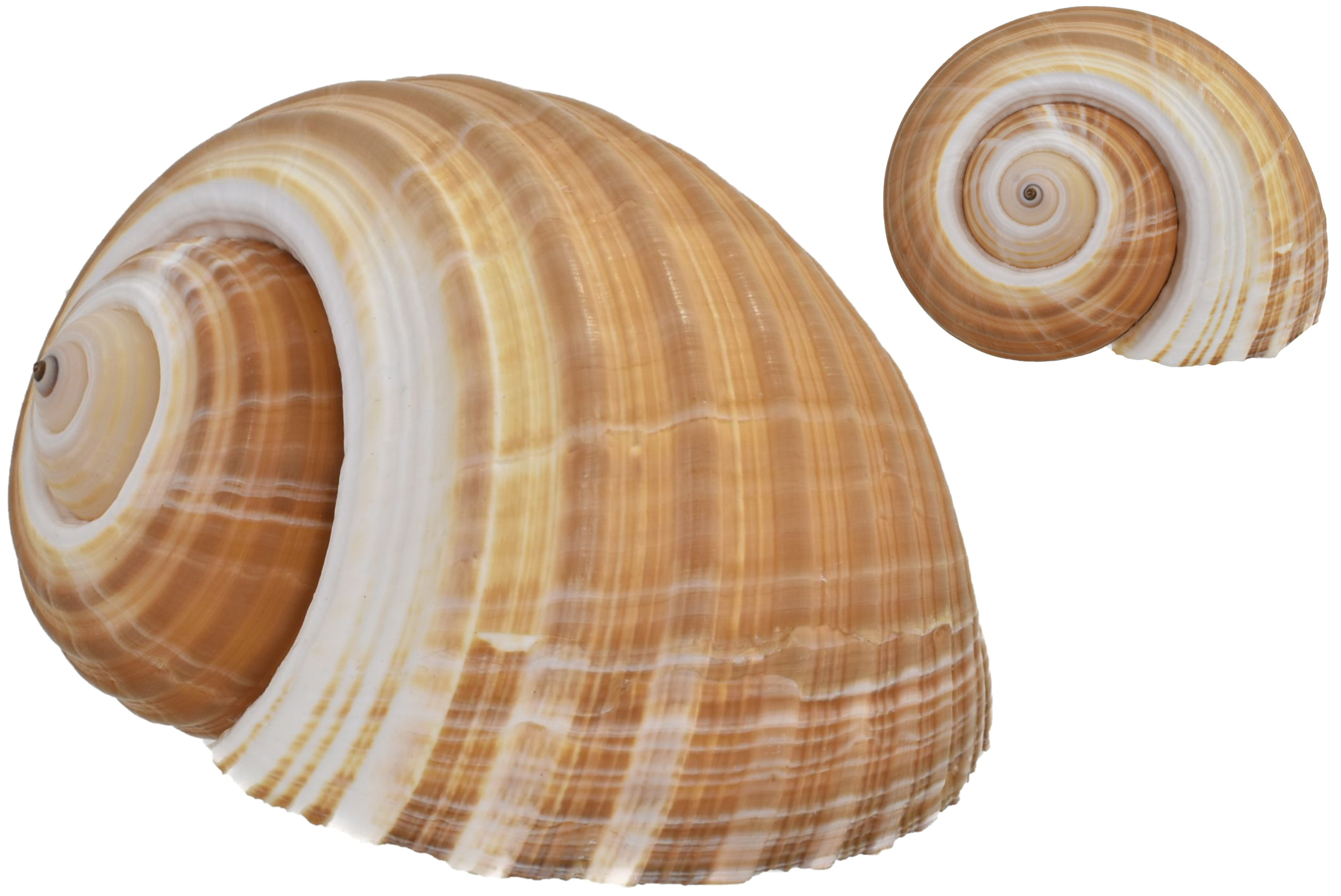 "Large Tonna Galea Shell 5"""