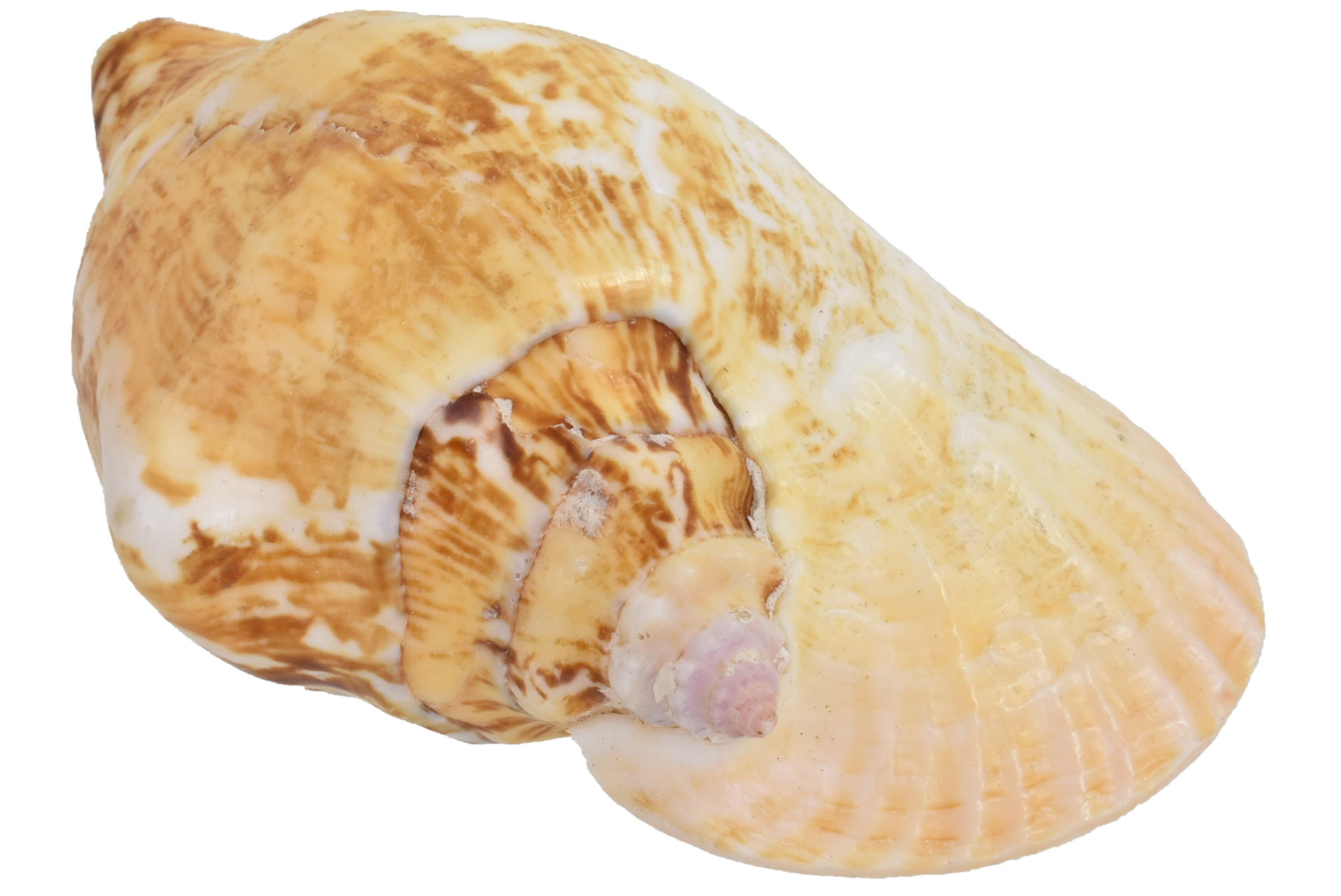 """Large Strombus Latismus Shell 5"""""""