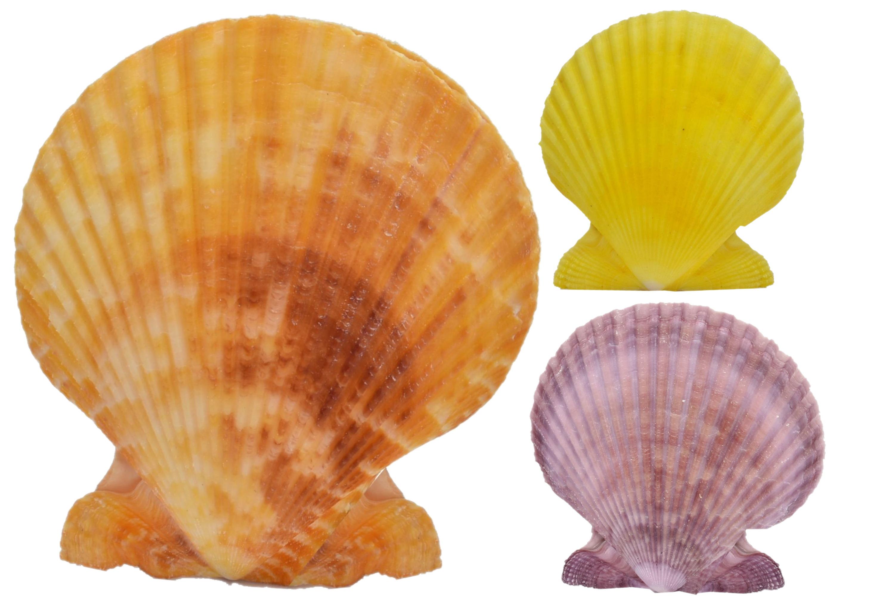 "Colour Pecten Pair Shell 3"" - No Barcode (Shell Stand)"