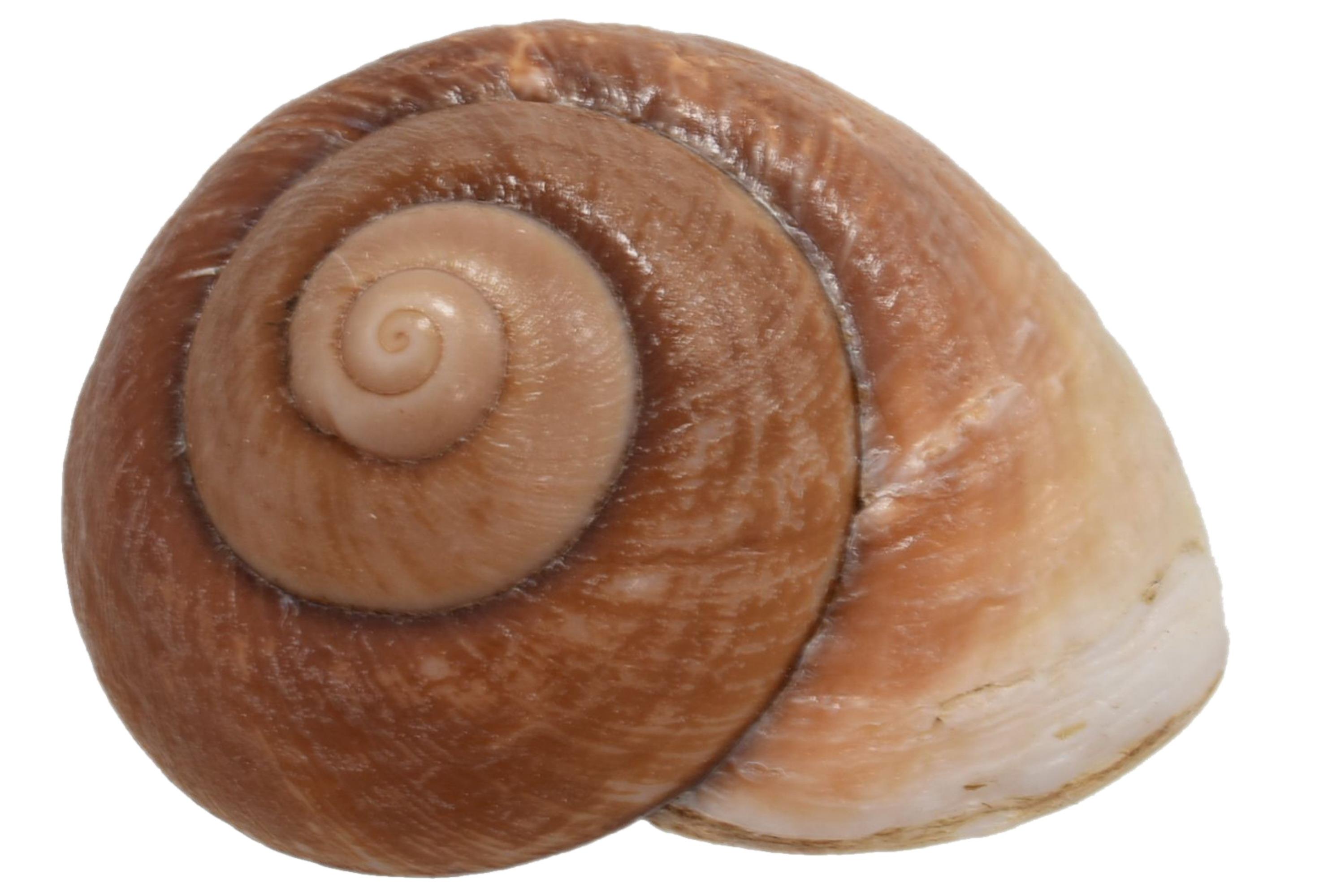 "Jumbo Land Snail 3"" - No Barcode (Shell Stand)"