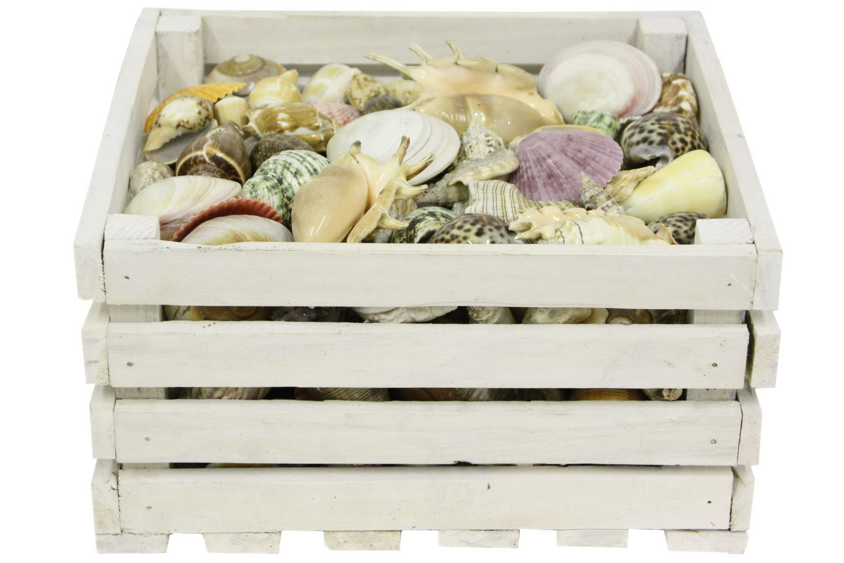 200pc Polished Shells In Wood Crate